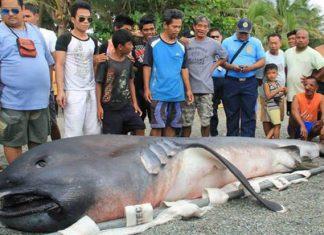 megamouth shark, megamouth shark philippines, megamouth shark february 2018