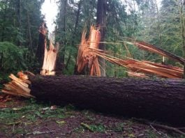 mysterious wind knocks down big trees in Washington, mysterious event forest washington, trees knock down washington national park