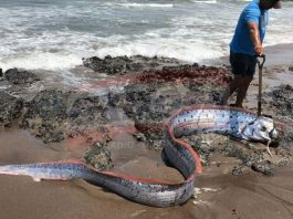 oarfish peru, oarfish peru M7.2 earthquake mexico, oarfish washes up in Peru on February 15, 2018 just 2 days before the M7.2 earthquake in Mexico