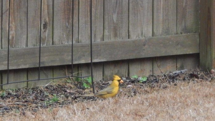 yellow cardinal alabama, yellow cardinal alabama 2018, yellow cardinal alabaster alabama