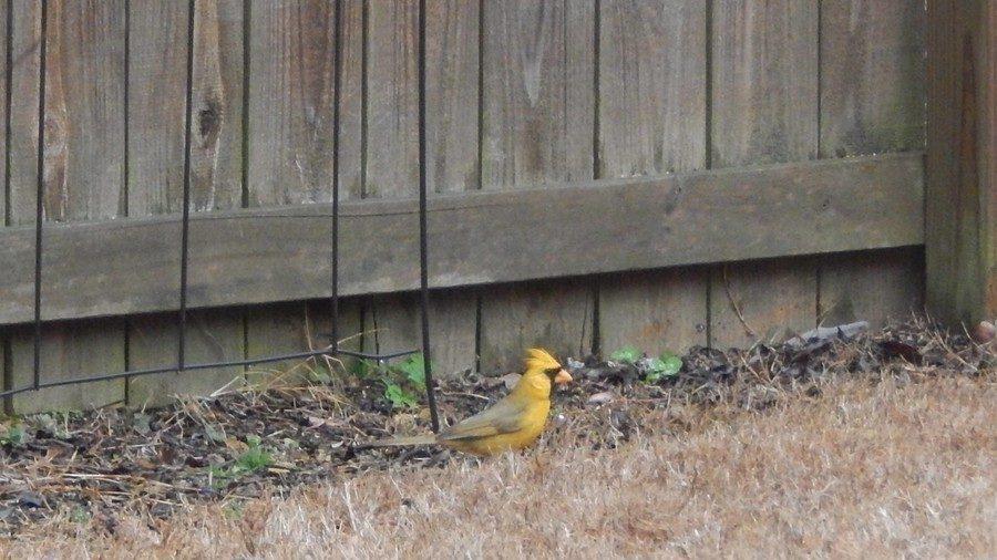 yellow cardinal alabama, yellow cardinal alabama 2018, yellow cardinal alabaster alabama