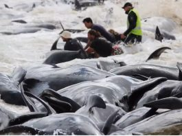 150 whales dead hamelin bay australia march 2018, More than 150 short-finned pilot whales have stranded en masse at Hamelin Bay, 10km north of Augusta early this morning, 150 whales dead hamelin bay australia march 2018 video, 150 whales dead hamelin bay australia march 2018 pictures