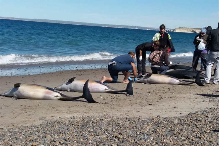 dolphins die-off argentina, dolphins die-off argentina march 2018, 61 dolphins stranded Puerto Madryn march 2018. 61 dolphins stranded beach argentina pictures and videos