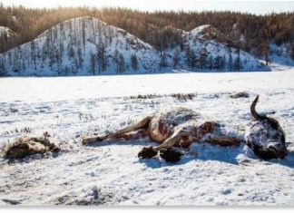 700000 animals die in Mongolia, herders lose 700000 animals in mongolia, dzud kills 700000 animals