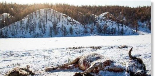 700000 animals die in Mongolia, herders lose 700000 animals in mongolia, dzud kills 700000 animals