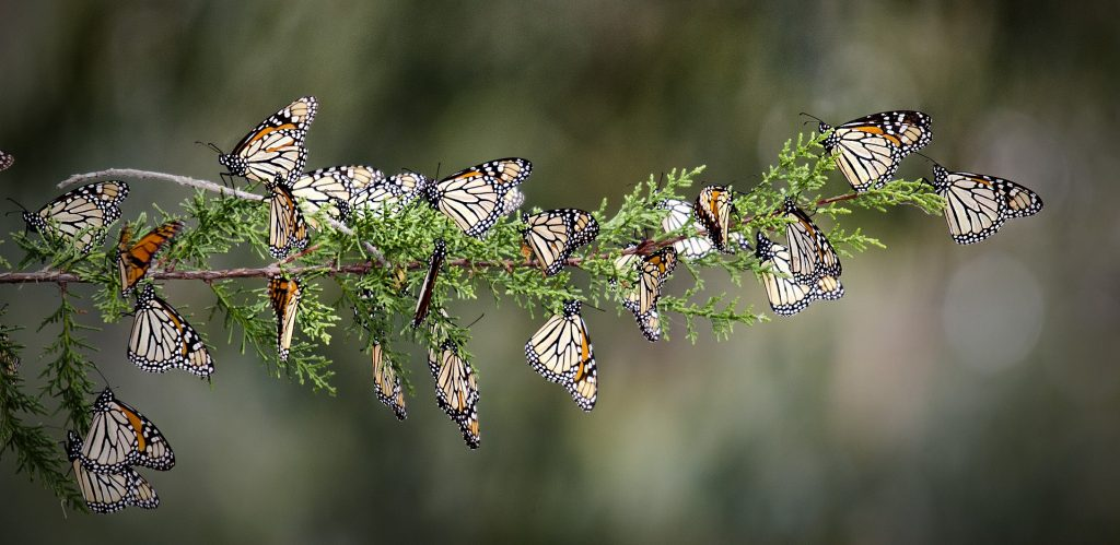 monarch butterfly decline, monarch butterfly strong decline, monarch butterfly die-off