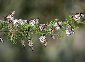 monarch butterfly decline, monarch butterfly strong decline, monarch butterfly die-off