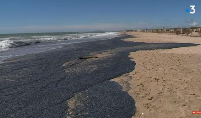 Billions of purple jellyfish like creatures wash up france Extraño fenómeno afecto la costa en Francia, millones de medusas cubre toda una playa