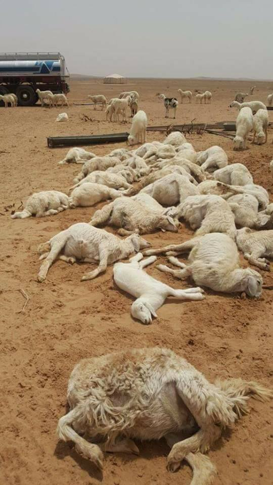 hailstorm saudi arabia kills hundreds of sheep and camels