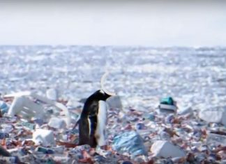 penguins living on an island of plastic waste, penguins living on an island of plastic waste video, penguins living on an island of plastic waste picture