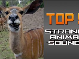 Very strange animal sounds, Very strange animal sounds video, strange animal sound video