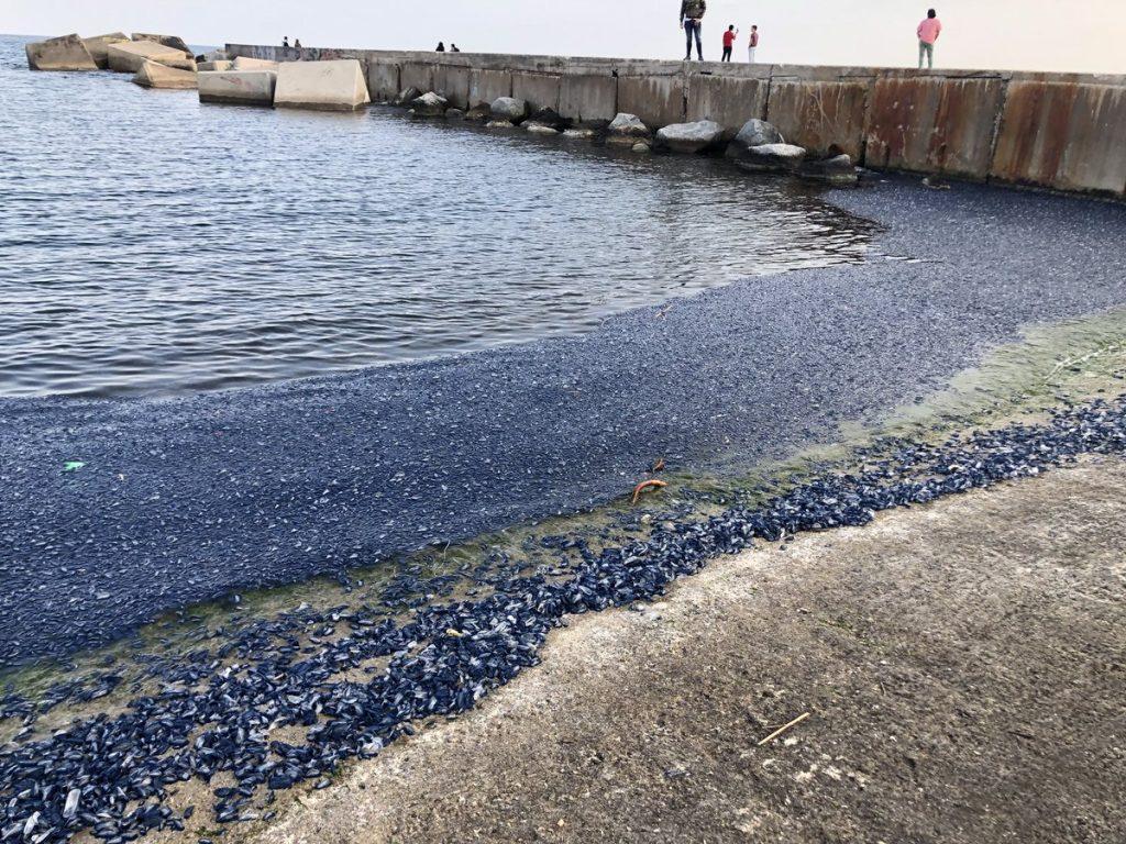 jellyfish barcelona, jellyfish color beaches in blue in barcelona, catalan coast jellyfish invasion