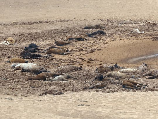 dead horse arizona, arizona drought 111 horses dead, 111 horses die arizona, arizona drought kills 11 wild horses in navajo country