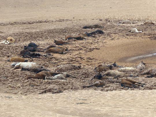 dead horse arizona, arizona drought 111 horses dead, 111 horses die arizona, arizona drought kills 11 wild horses in navajo country
