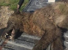mysterious furry creature shot in Montana, mysterious furry creature shot in Montana baffles experts, mysterious furry creature shot in Montana baffles wildlife experts, mysterious wolf creature montana pictures, mysterious wolf creature montana video