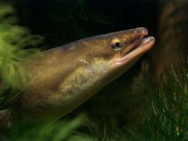 eels cocaine, european eels cocaine