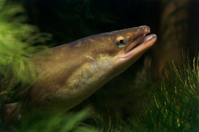 eels cocaine, european eels cocaine