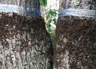 millions of caterpillars maine, Caterpillars besiege Maine neighborhood triggering traffic warning, caterpillar invasion maine june 2018