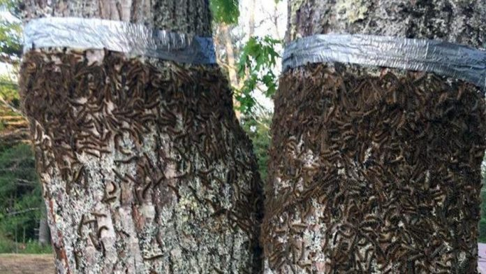millions of caterpillars maine, Caterpillars besiege Maine neighborhood triggering traffic warning, caterpillar invasion maine june 2018