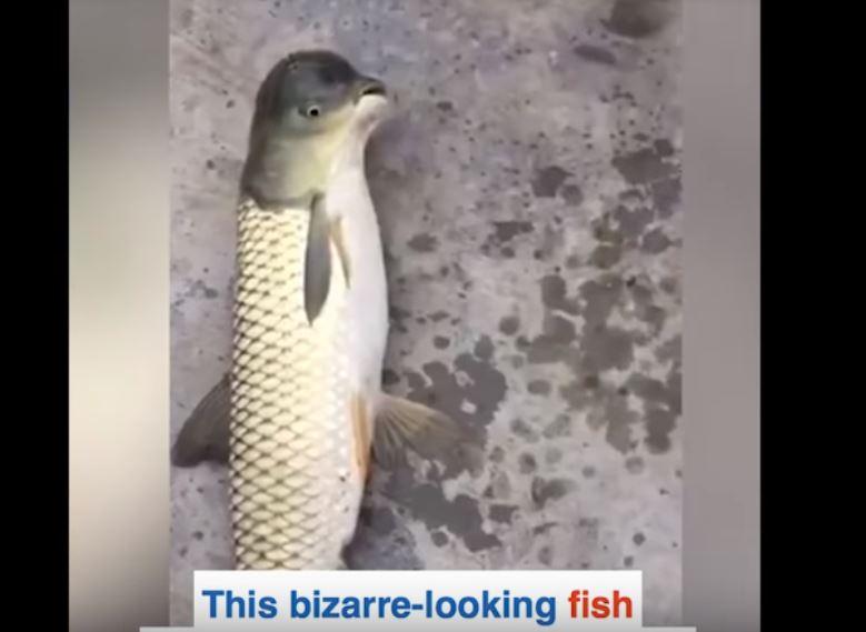 strange fish pigeon head china, strange fish pigeon head china pictures, strange fish pigeon head china video, strange fish pigeon head china june 2018