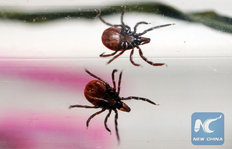 giant tick sweden, Giant ticks discovered in Sweden