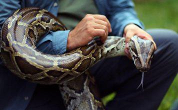 burmese python invasion Florida, burmese python invasion Florida video, burmese python invasion Florida documentary, burmese python invasion Florida october 2018, burmese python invasion Florida video