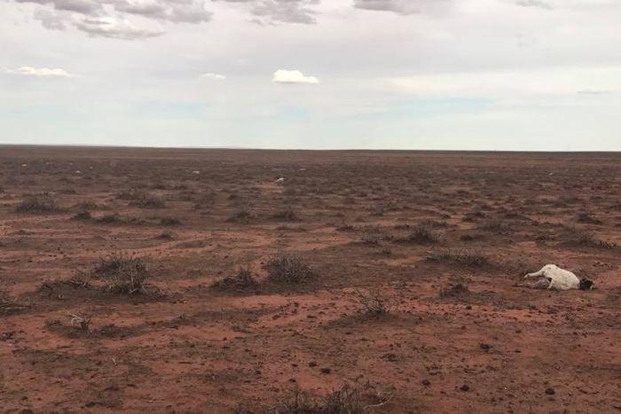 hailstorm kills 400 kangaroos and 150 goats australia, hailstorm kills 400 kangaroos and 150 goats australia pictures