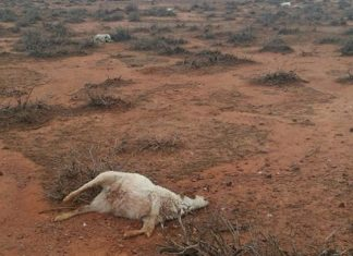 hailstorm kills 400 kangaroos and 150 goats australia, hailstorm kills 400 kangaroos and 150 goats australia pictures