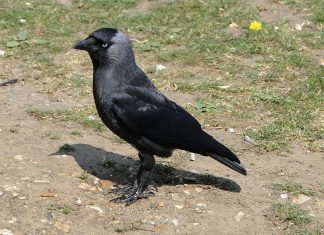 jackdaw dead poland, jackdaw dead poland poisoning, hundreds of birds fall from sky poland