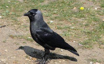 jackdaw dead poland, jackdaw dead poland poisoning, hundreds of birds fall from sky poland