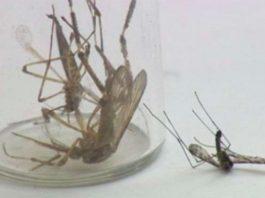 monster mosquitoes plague carolinas, monster mosquitoes plague carolinas after hurricane florence, monster mosquitoes plague carolinas hurricane Florence