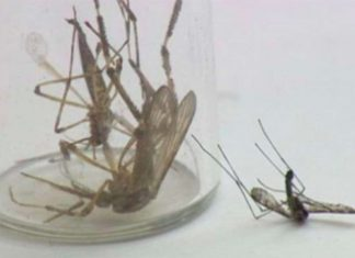 monster mosquitoes plague carolinas, monster mosquitoes plague carolinas after hurricane florence, monster mosquitoes plague carolinas hurricane Florence