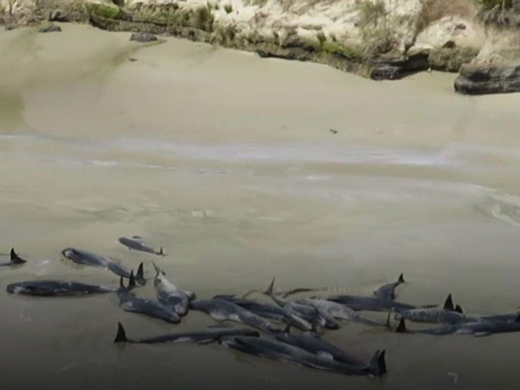 145 whales die new zealand, 145 whales die new zealand video, 145 whales die new zealand pictures, 145 whales die new zealand november 2018
