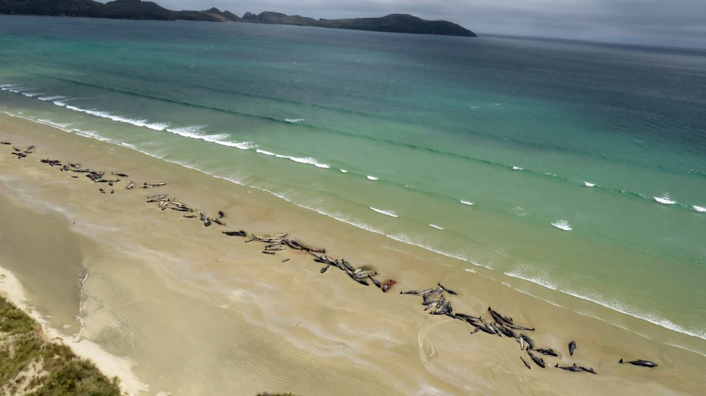 145 whales die new zealand, 145 whales die new zealand video, 145 whales die new zealand pictures, 145 whales die new zealand november 2018