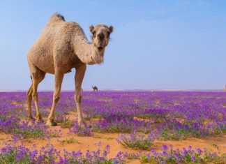 flower desert saudi arabia, purple flower desert saudi arabia, desert becomes purple after flower bloom and intense rain in Saudi Arabia