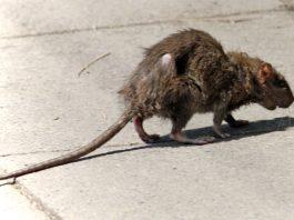 rat hepatitis, rat hepatitis human, rat hepatitis video