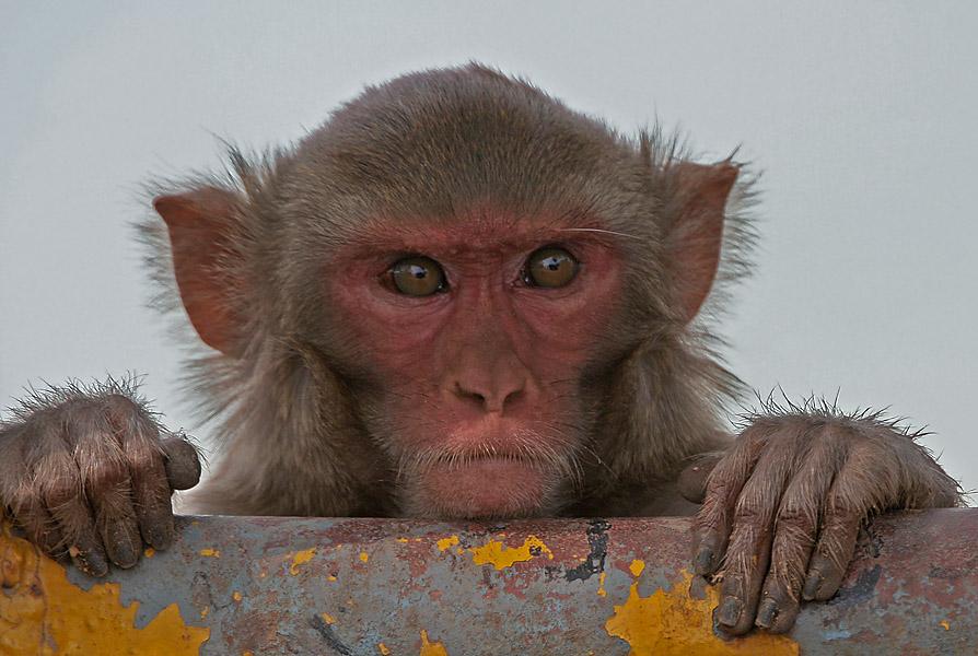 monkey herpes florida, rhesus macaque herpes florida, monkey herpes florida video