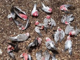 bird fall dead from sky australia, bird fall dead from sky australia pictures, bird fall dead from sky australia video
