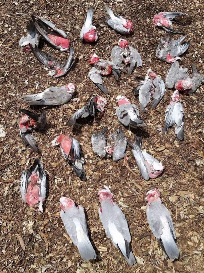 bird fall dead from sky australia, bird fall dead from sky australia pictures, bird fall dead from sky australia video