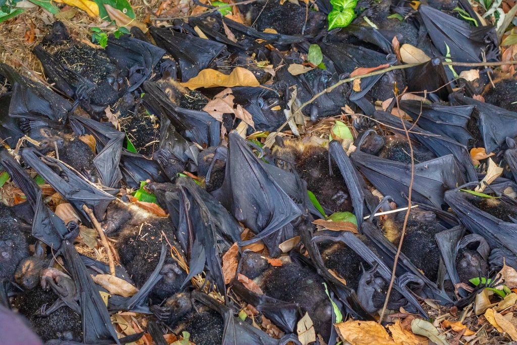 dead bats fall from sky australia, dead bats fall from sky australia pictures, dead bats fall from sky australia videos, dead bats fall from sky australia december 2018