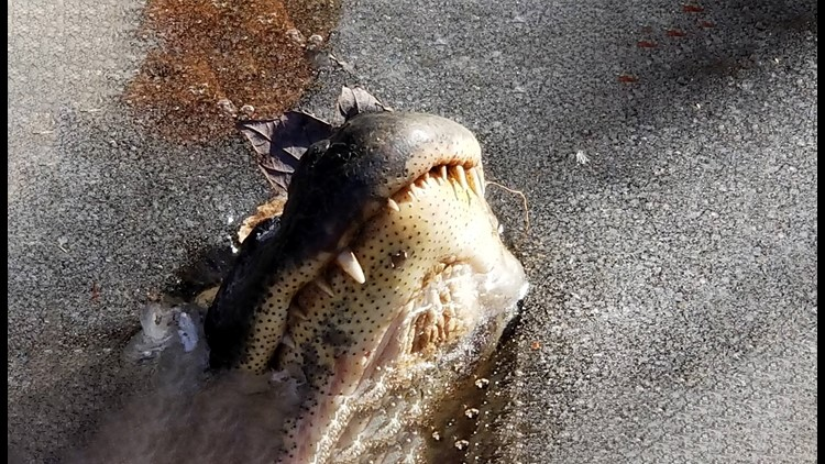 alligators freeze themselves to survive cold snap, alligator nose above ice survival technique, alligator north carolina ice