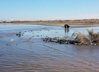 avian cholera salton, Thousands of water birds die at Salton Sea