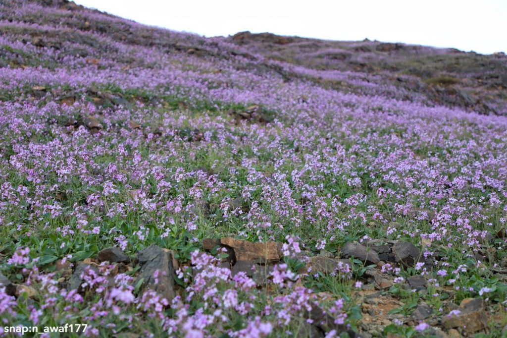 Desert turns purple after impressive desert bloom in arid Saudi Arabia  Desert-bloom-saudi-arabia-flowering-desert-3-1024x682