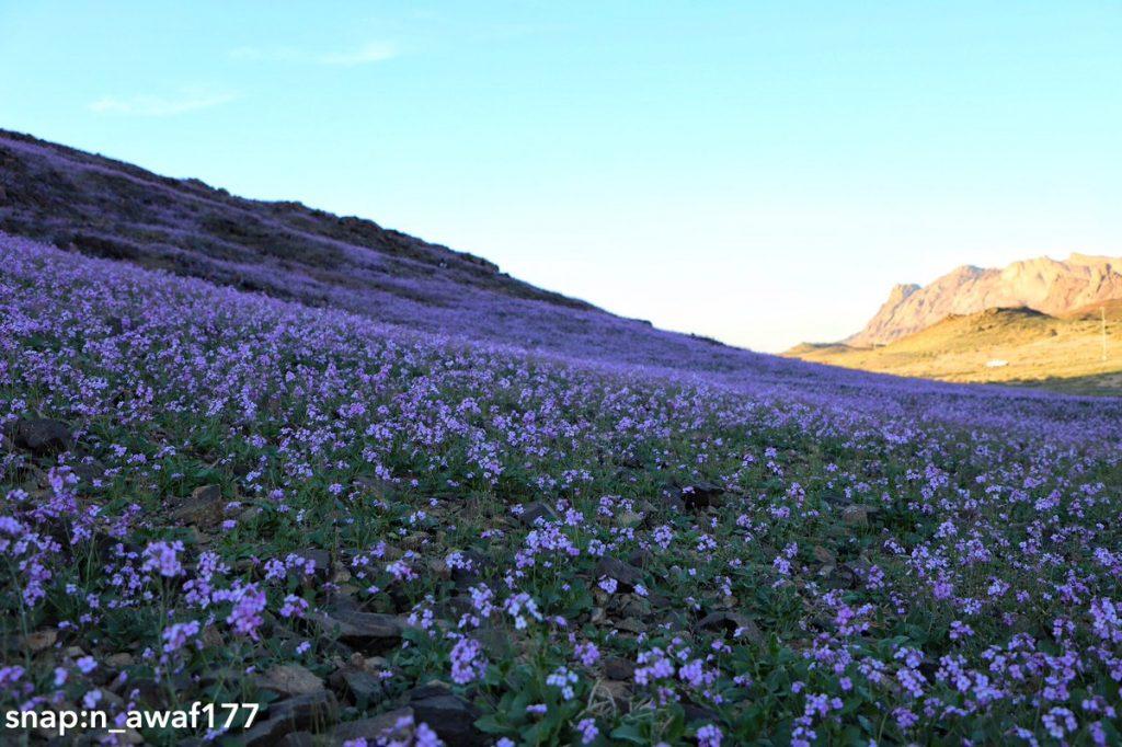 Desert turns purple after impressive desert bloom in arid Saudi Arabia  Desert-bloom-saudi-arabia-flowering-desert-4-1024x682