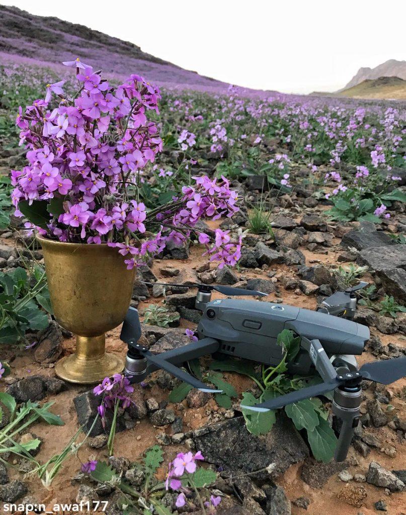 Desert turns purple after impressive desert bloom in arid Saudi Arabia  Desert-bloom-saudi-arabia-flowering-desert-6-807x1024