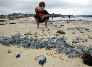 jellyfish invasion australia, jellyfish invasion australia video, jellyfish invasion australia pictures, jellyfish invasion australia january 2019