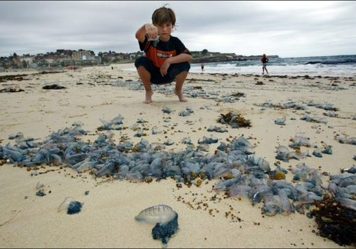 jellyfish invasion australia, jellyfish invasion australia video, jellyfish invasion australia pictures, jellyfish invasion australia january 2019