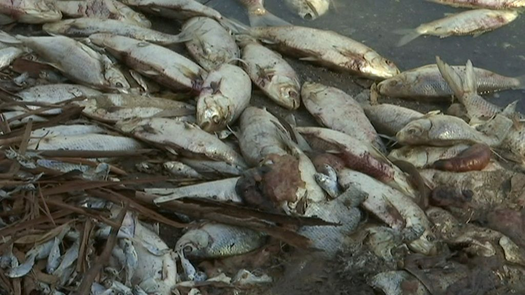 Millions fish die in massive fish kill in lower Darling River, Australia., Millions fish die in massive fish kill in lower Darling River, Australia. pictures, Millions fish die in massive fish kill in lower Darling River, Australia. videos, Millions fish die in massive fish kill in lower Darling River, Australia. january 2019
