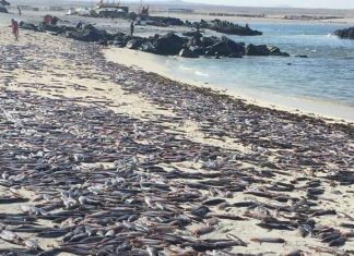 cuttlefish death chile, chile atacama cuttlefish die-off, dead cuttlefish chile feb 2019