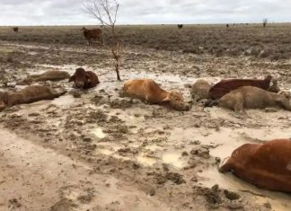 dead cattle floods western queensland february 2019, townsville floods australia feb 2019